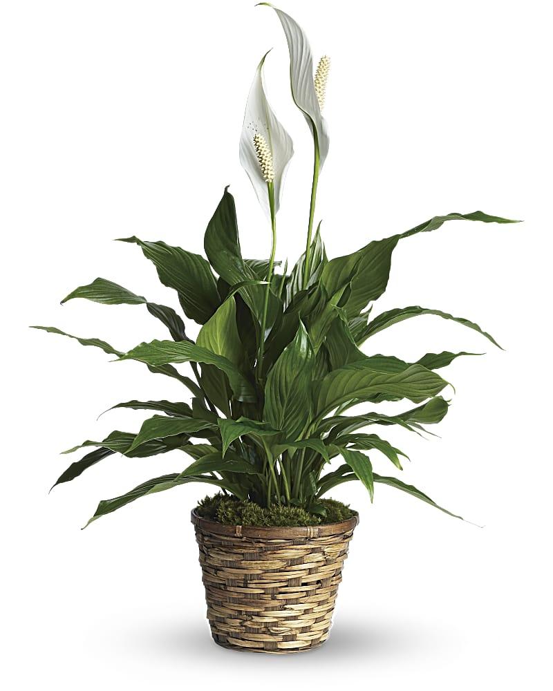 Spathiphyllum Petit