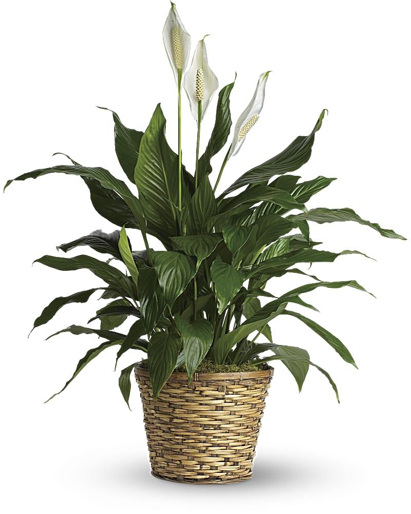 Spathiphyllum Moyen