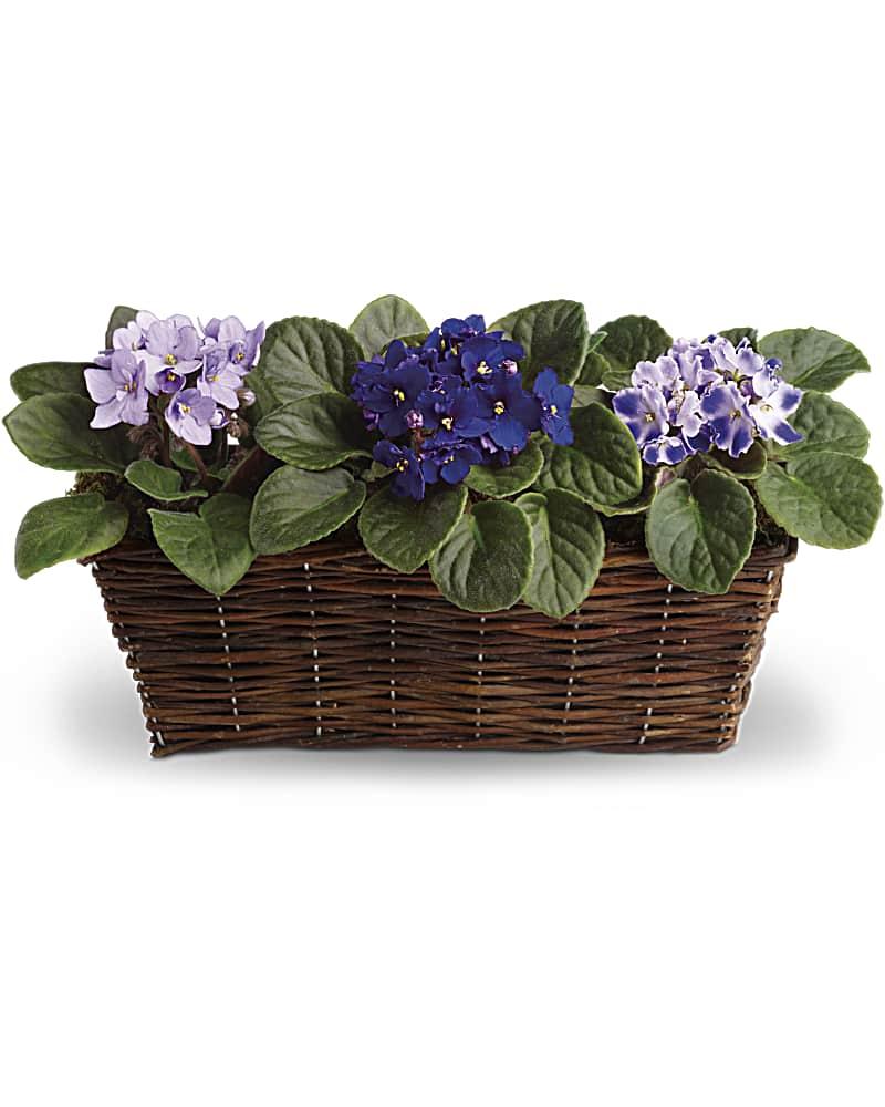 Trois Douces Violettes