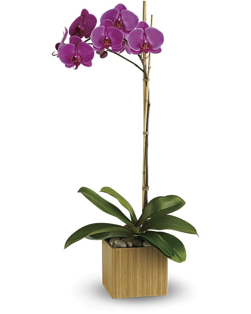 Orchidée Impériale