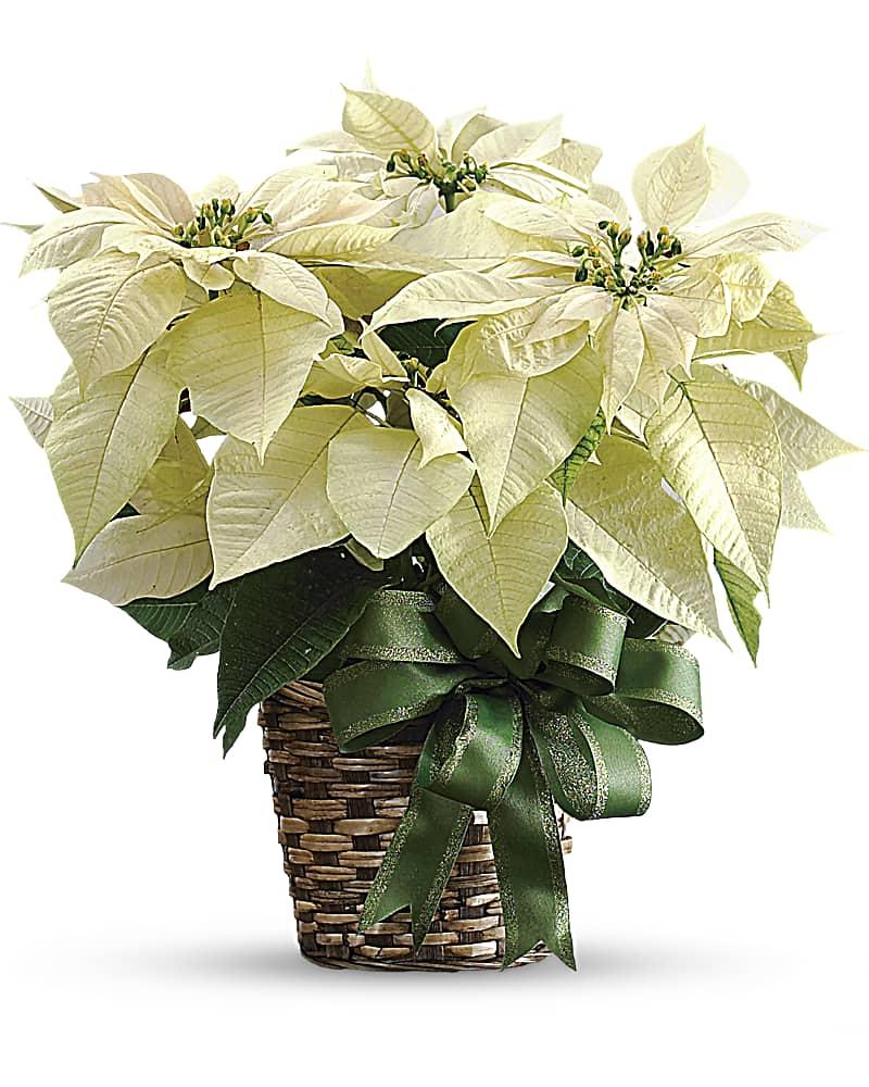 Poinsettias Blanc Grand